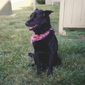 Chow/Labrador mix named Sephi